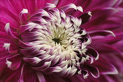 Close up of a dahlia (Foto Martien) Tags: dahlia flower holland colour macro netherlands fleur dutch mexico colorfull flor nederland blume coloured asteraceae veluwe centralamerica kleurrijk bloem macrophoto kleuren polychrome bont harskamp veelkleurig macrofoto kleurig gardenflower macroopname zorgboerderij asteroideae a550 tuinbloem zorginstelling passiflorahoeve martienuiterweerd martienarnhem flowersarebeautifu sonyalpha550 mygearandme mygearandmepremium minoltamacro100mm28mm mygearandmebronze mygearandmesilver mygearandmegold mygearandmeplatinum mygearandmediamond ringexcellence dblringexcellence fotomartien tplringexcellence northwesternsouthamerica eltringexcellence rememberthatmomentlevel4 rememberthatmomentlevel1 rememberthatmomentlevel2 rememberthatmomentlevel3 rememberthatmomentlevel5 rememberthatmomentlevel6