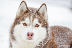 Huskies playing in the snow (Jesse James Photography) Tags: winter dog snow animal nikon huskies siberianhuskies d700