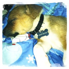 Tuckered out (redrocker_9) Tags: puppy kid 8weeks iphone deaththekid hipstamatic dreamcanvasfilm loftuslens tastypopflash