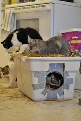Former Feral Cats helping Current Feral Cats (Cats 90) Tags: cats jenna simon cat construction alley alberta smokey shelter fairview marcie rescued 2012 feral helpers