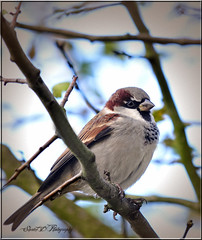 SPARROW (Shaun's Wildlife Images....) Tags: birds sparrows shaund