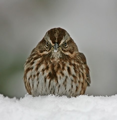 I AM Smiling (janruss) Tags: winter snow bird ngc explore sparrow avian songsparrow specanimal anawesomeshot avianexcellence janruss janinerussell magicunicornverybest magicunicornmasterpiece
