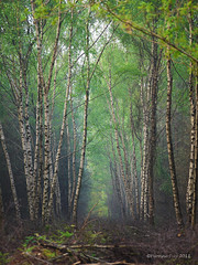 Corridor of Birches (yvonnepay615) Tags: trees nature lumix woods panasonic g1 45mm flickraward platinumheartaward flickraward5 onlythebestofnature