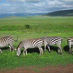 "Zebra <a style=""margin-left:10px; font-size:0.8em;"" href=""http://www.flickr.com/photos/14315427@N00/6741643523/"" target=""_blank"">@flickr</a>"