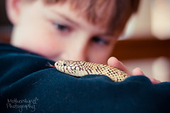Snakes are cool (Dani_Girl) Tags: boy dof snake dailypic scales forkedtongue floridakingsnake gettyimagescanada april2013statement