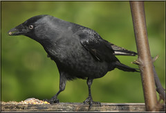 JACKDAW 2 (Shaun's Nature and Wildlife Images....) Tags: jackdaws shaund