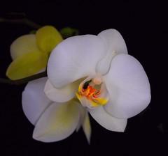 Orchid In Bloom Again (btn1131 www.needGod.com) Tags: flowers plants orchid floral olympus epl1 mygearandme