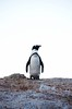 Penguin Overlook (Lauren Barkume) Tags: africa vacation sky animal rock southafrica penguin december ct capetown jackass westerncape 2011 laurenbarkume gettyimagesmeandafrica1