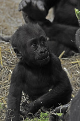 Young Western Lowland Gorilla (Truus & Zoo) Tags: netherlands amsterdam animals zoo apes artis dierentuin westernlowlandgorilla criticallyendangered gorillagorillagorilla westelijkelaaglandgorilla