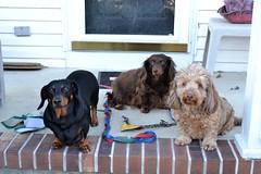 Waiting For The Obigatory Picture (Tobyotter) Tags: dog chien pet frank hound canine dachshund perro hund link wienerdog dackel teckel k9 jimmydean doxie sausagedog aplaceforportraits pointyfaceddog