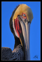 Pelican In La Jolla (I take photographs) Tags: ocean california blue red sea sky orange bird eyes sand sandiego beek seagull flight wing feather lajolla pelican