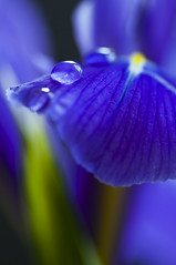 Iris (~ Maria ~) Tags: flowers blue iris stilllife purple drop iridaceae ginordicjan12