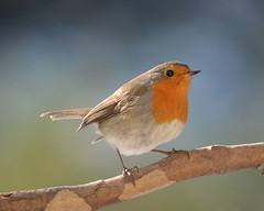 Le rouge-gorge (Le pot-ager) Tags: oiseaux rougegorge passereaux rithacusrubecula