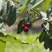 """Cherries • <a style=""""font-size:0.8em;"""" href=""""http://www.flickr.com/photos/72440139@N06/6827602973/"""" target=""""_blank"""">View on Flickr</a>"""