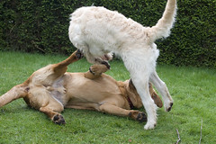 Marley and Cody (Kayleigh McCallum) Tags: uk boy dog cute girl photography scotland labrador cody marley foxredlabrador