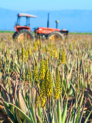 Aloe and Tractor (MistyDaze) Tags: california tractor aloe farm farming crop growing agriculture saltonsea californiadesert imperialvalley imperialcounty drylandfarming barbadensis aloebarbadensis burnplant growingaloeintheimperialvalley