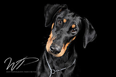 Canine Studio Photography (jesswealleans) Tags: show dog pets black puppy studio jack labrador background russel hound pug canine terrier agility boxer spaniel lurcher