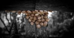 Hangout Spot (Rohit KC Photography) Tags: california park ca bridge blackandwhite bw usa brown nature canon outdoors woods natural outdoor edited snail dumbarton snails vignette canon24105mmf4l canon5dmarkii