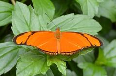 dryas iulia (brigitte.watz) Tags: butterfly insect insekt orangebutterfly sommerfugl vliegendehollander flambeau dryasiulia juliabutterfly juliaheliconian theflame longlivedanddayactivebutterfly picturefromabutterflyhouse