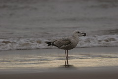 STANDING (skysthelimit333) Tags: sea beach sand seagull waterfowl irishsea