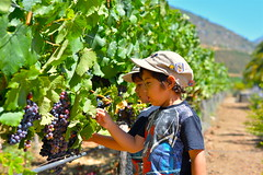 """Graping"" with my twin (danigutib) Tags: chile camera family blue summer portrait people playing verde grass familia azul kids hojas photo leaf vineyard nikon child play via gente wine eating retrato spiderman sunny nios pasto eat jockey grapes verano rbol sentado jugar casablanca comer fotografia nikkor dslr quinta uva region nio 58mm familiar cmara gorros soleado nikondf"