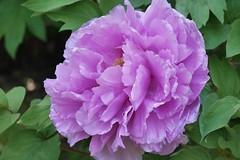 ()/Paeonia suffruticosa (nobuflickr) Tags: flower nature japan kyoto peony    kenninjitemple 20160425p1050916
