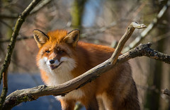 Fox (Infomastern) Tags: animal zoo fox rv djur geolocation djurpark sknesdjurpark geocity camera:make=canon exif:make=canon geocountry geostate exif:focallength=300mm exif:aperture=56 exif:lens=ef70300mmf456lisusm exif:isospeed=400 camera:model=canoneos760d exif:model=canoneos760d