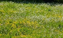 Meadow flowers (joeke pieters) Tags: flower spring meadow wei wildflower lente bloemen voorjaar panasonicdmcfz150 1270287