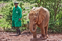 David Sheldrick Elephant Orphanage - Alamaya 6 (Grete Howard) Tags: safariinafrica safari whichsafaricompany bestsafaricompany calabashadventures travel holiday africa kenya elephants davidsheldrickwildlifetrust elephantorphanage wildelife animals nairobi