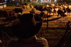 Gauchos (CmentA) Tags: brazil nature boys brasil cow natureza gauchos pantanal brsil rodo