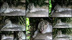 White Tiger. New Orleans 13th May 2016 (Tigeress blue) Tags: animal zoo tiger bigcat whitetiger neworleanszoo wendyminto