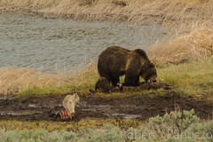 Learning to share (ChicagoBob46) Tags: coyote bear yellowstonenationalpark yellowstone grizzly carcass grizz grizzlybear bisoncarcass