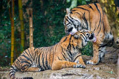 Happy Mother's Day (Harimau Kayu (AKA Sumatra-Tiger)) Tags: usa animal japan gardens sisters cat asian zoo cub dc washington feline peace tiger dream daughters dell camouflage beast nationalzoo soy yokohama roar tijger carnivorous tigris tigre tigerstripes thunder mothersday bigcats damai sumatran carnivore soyono zoological  predetor zoorasia mimpi guntur flesheating sumatratiger tygr tiikeri thetemptation  deru pantheratigrissumatrae sumatraansetijger asiancat sumatrantigercub tigredesumatra gunchan  thesmithsoniannationalzoologicalpark harimausumatera sumatrakaplan tygrsumatersk tygryssumatrzaski  szumtraitigris       hsumatra guntursdaughters