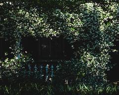 126/366 House of flowers (djandzoya) Tags: flowers spring charleston photoaday fujifilm xseries project365 confederatejasmine project366 xe2 classicchrome