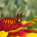 Gaillardia+flower+with+a+bee