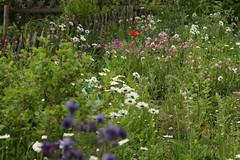 die Akeleien und die Margeriten und der Klatschmohn (ebien) Tags: garden spring allotment garten frühling kleingarten schrebergarten frühblüher frühlingsblume gardenplot