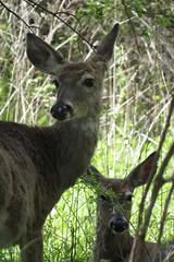 IMG_3958 (rachelaughs) Tags: deer whitetailed whitetaileddeer mendonponds mendonpondspark
