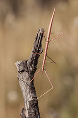 Leptynia cf attenuata stick insect (Fotografa de Naturaleza de Paco Moreno Gmez) Tags: parque espaa naturaleza fauna flora natural huelva andalucia sierra palo picos insecto fotografa aracena aroche fasmido