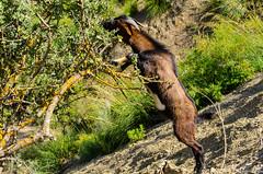 Ibex (haddadzakaria) Tags: wild animal algeria spring day sunny ibex jijel erraguene
