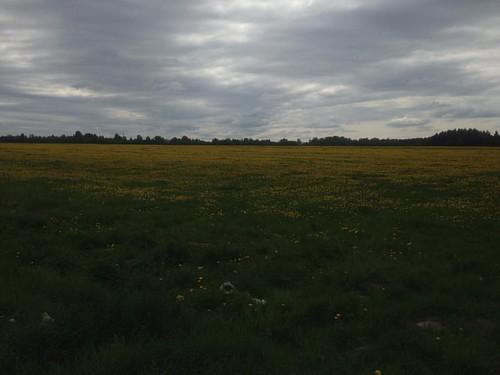 Одуванное поле