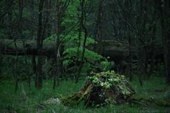 Im Eichelgarten - Forstenrieder Park (wimmerralf) Tags: forest dark bayern 50mm dof wald regen dunkel schrfentiefe dster baumstumpf summicronr abgestorben abgeschlagen tiefgrn lumixgx7