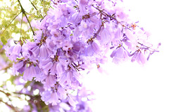 Jacaranda Tree Flowers (Mademoiselle Mermaid) Tags: california losangeles purple santamonica jacaranda purpleflowers jacarandas jacarandatree flowerphotography purpletrees jacarandatrees purplefloweringtrees mademoisellemermaid