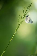 Moustique, puceron et papillon (Andy. LATHAUD) Tags: macro andy nature insecte proxi lathaud