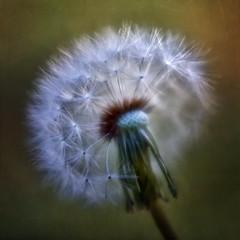 DandyLion (Anne Worner) Tags: color colour macro texture closeup lensbaby square petals stem nikon bokeh dandelion seeds seedhead layers selectivefocus shallowdof on1 seeding d7000 anneworner velvet56