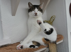 talk to the paw (dickie44) Tags: pet cat feline brian norfolk pussy caisteronsea