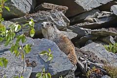 Hoary Marmot_2I1A6948 (bud_marschner) Tags: alaska marmot hoary thompsonpass