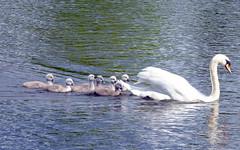 Airthrey Campus (12) (lairig4) Tags: scotland stirling bridgeofallan university campus airthrey cygnets loch swans