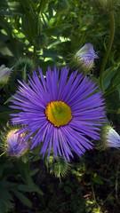 blueflower1 (jurinkof) Tags: fleurs blten blauen  kvety bleues kvty modr