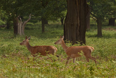 Red-Deer-2990 (Kulama) Tags: nature spring woods wildlife deer reddeer