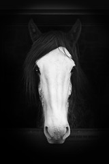 Tommy (Shockin Goblin) Tags: portrait horse art animals wales mono outdoor farm tourist tony tommy shire stable danyrogaf nationalshowcaves